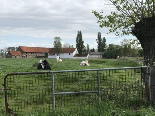 fietsroute fietsblog polders boerderij koeien
