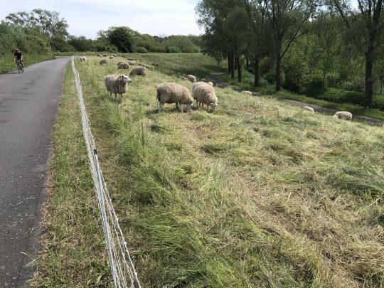 Fietsroute fietsblog Scheldedijkroute schapen